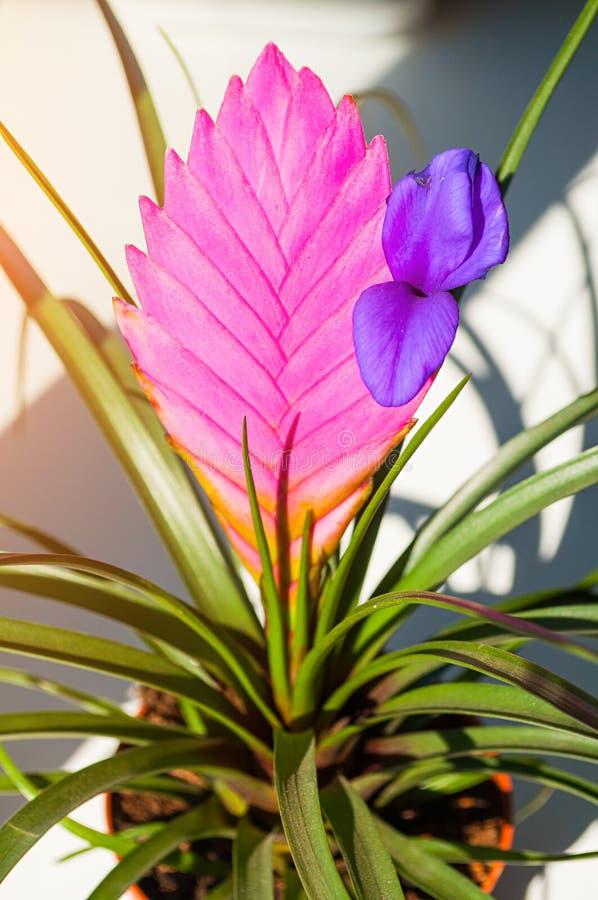 Il cyanea di Cyanea Anita Tillandsia di tillandsia è indigeno nell'Ecuador Coltiva il epiphyte sugli alberi in foreste pluviali immagini stock libere da diritti