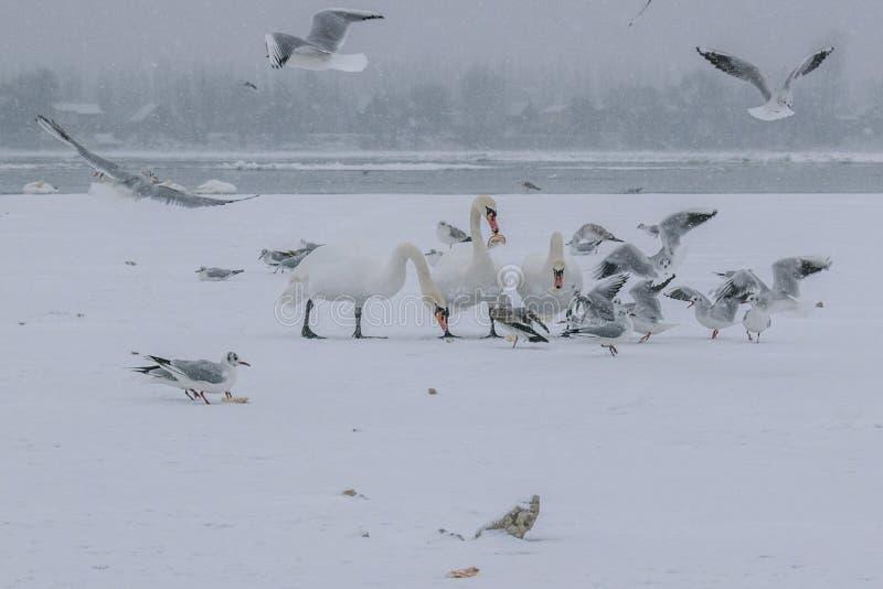 Il Danubio congelato con il cibo dei gabbiani e dei cigni fotografia stock
