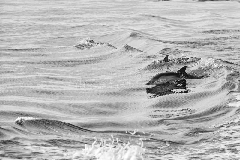 Il delfino che salta fuori dell'oceano immagine stock libera da diritti