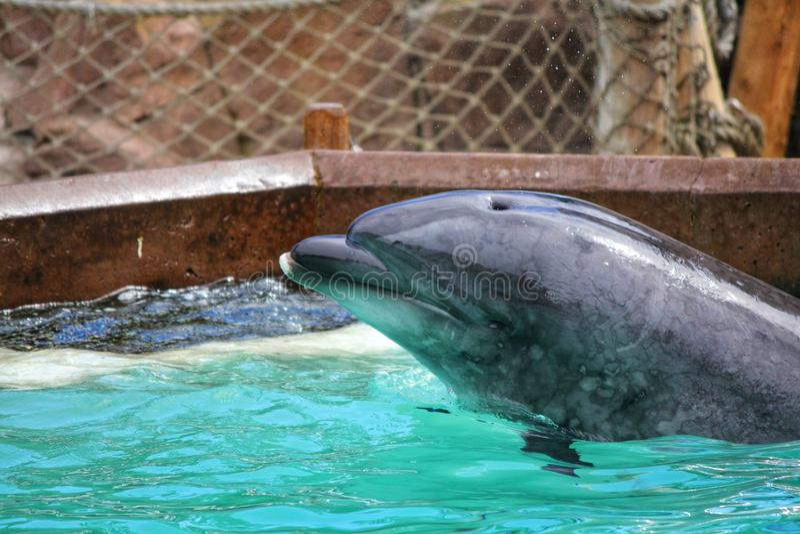 Il delfino pesca e mangia il pesce fotografia stock libera da diritti
