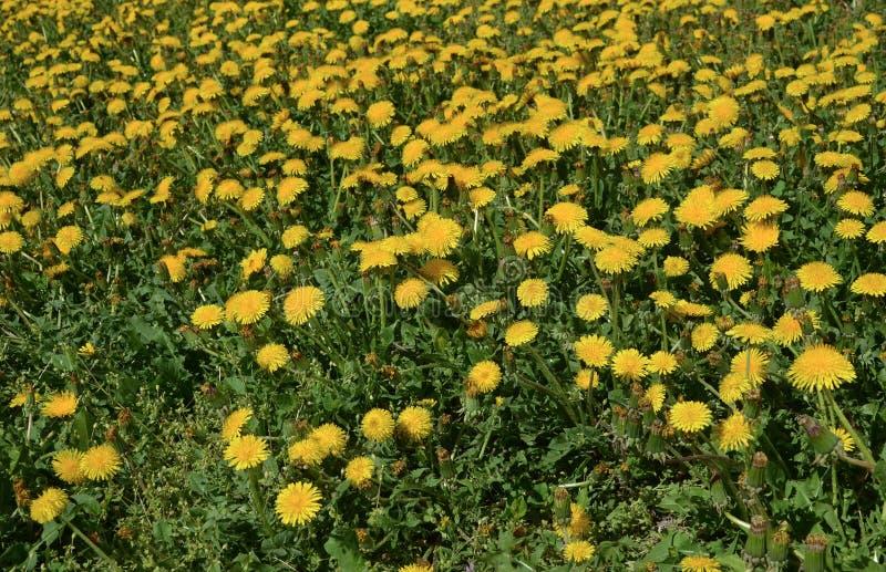 Il dente di leone fiorisce le erbe naturali di bio- eco immagine stock libera da diritti