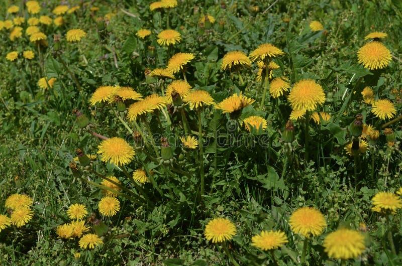 Il dente di leone fiorisce le erbe naturali di bio- eco fotografie stock