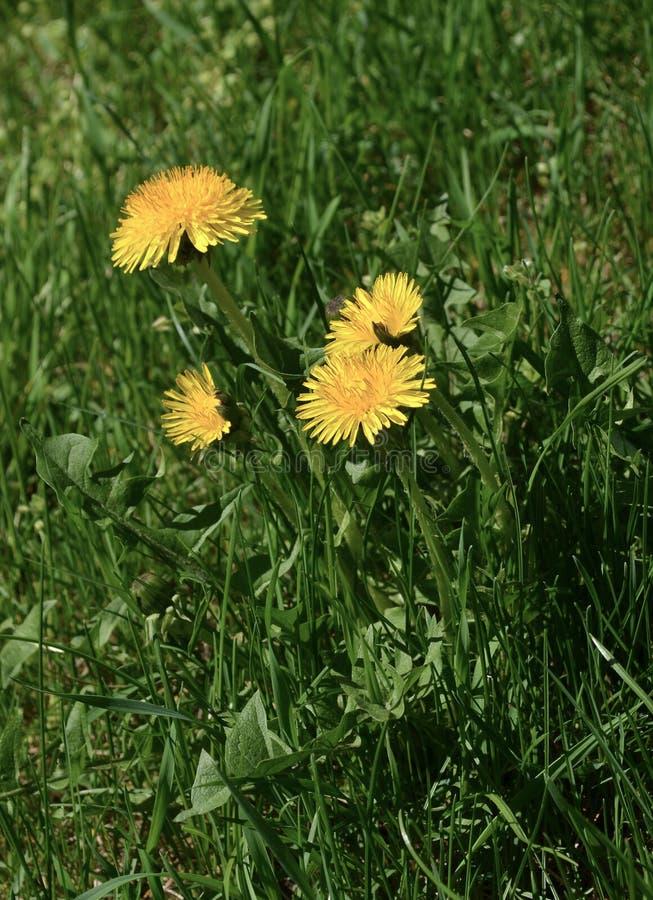 Il dente di leone fiorisce le erbe naturali di bio- eco fotografia stock libera da diritti