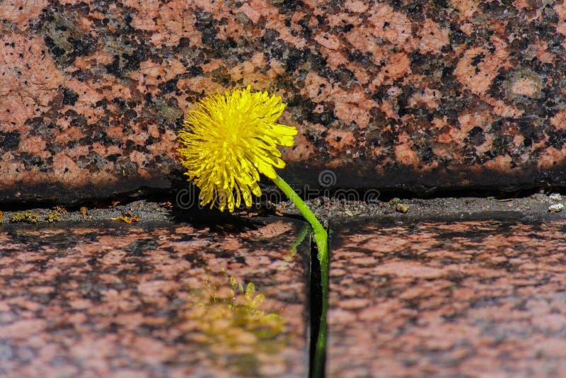 Il dente di leone giallo di fioritura si sviluppa in una crepa fra le pietre del granito Fine in su fotografie stock