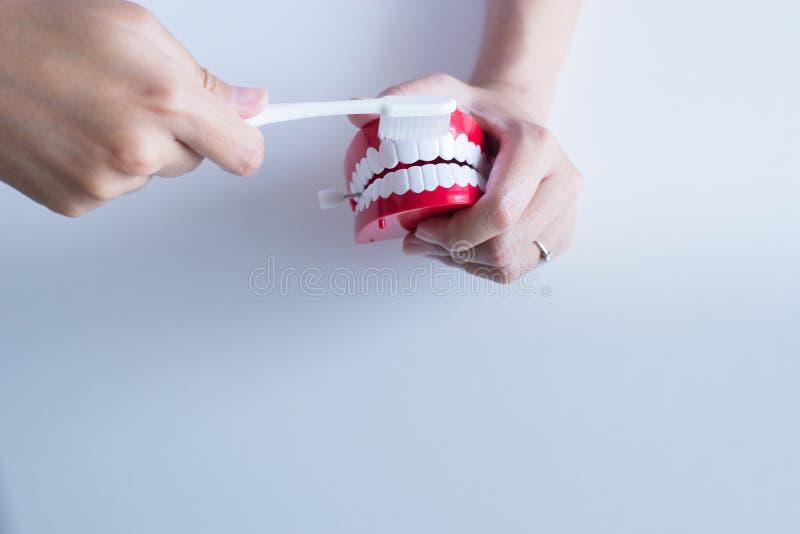Il dentista diagnostica i modelli di plastica con lo spazzolino da denti, concetto dei denti di controllo dentario, protesi denta immagini stock libere da diritti