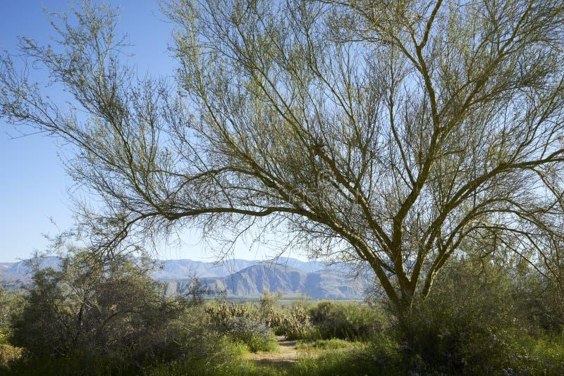 Il deserto di California verde e di fioritura dopo l'inverno piove fotografia stock libera da diritti