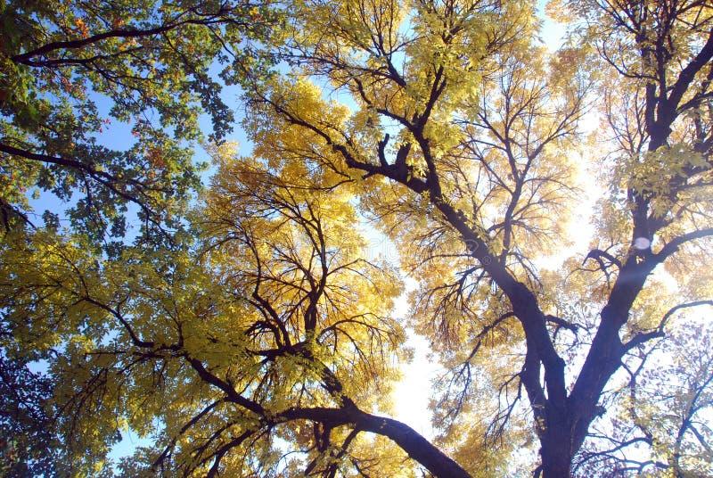 Il dettaglio dalla lisciviadel alinac di Å con i vecchi alberi della quercia fotografia stock