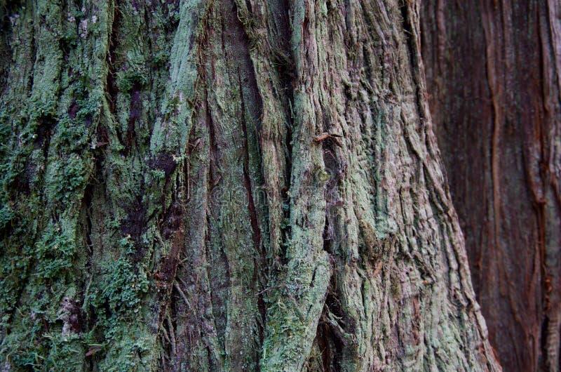 Il dettaglio del lichene ha coperto la corteccia di un albero di cedro immagine stock libera da diritti
