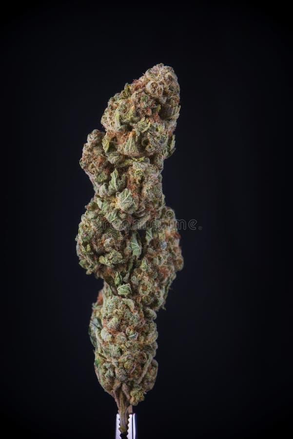 Il dettaglio della cannabis secca fiorisce lo sforzo del germoglio del dio isolata sopra la b fotografie stock