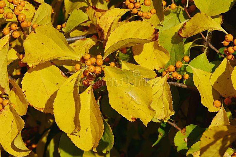 Il dettaglio delle foglie di autunno gialle luminose e le bacche del rampicante di tromba piantano Campsis Radicans immagine stock