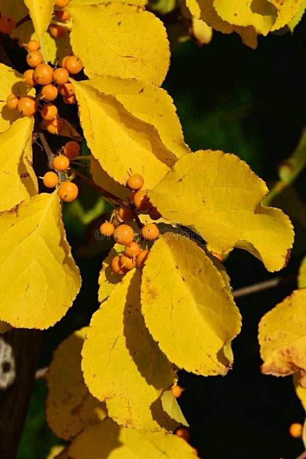 Il dettaglio delle foglie di autunno gialle luminose e le bacche del rampicante di tromba piantano Campsis Radicans fotografia stock