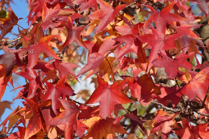 Il dettaglio di legno e foglie e frutta del sicomoro, acerifolia del Platanus immagini stock