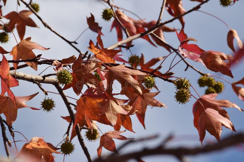 Il dettaglio di legno e foglie e frutta del sicomoro, acerifolia del Platanus fotografie stock libere da diritti