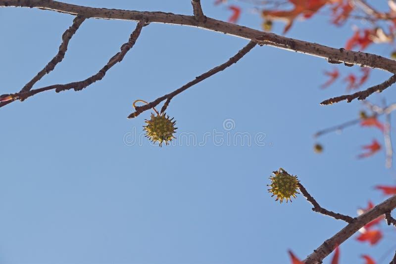 Il dettaglio di legno e foglie e frutta del sicomoro, acerifolia del Platanus immagine stock libera da diritti