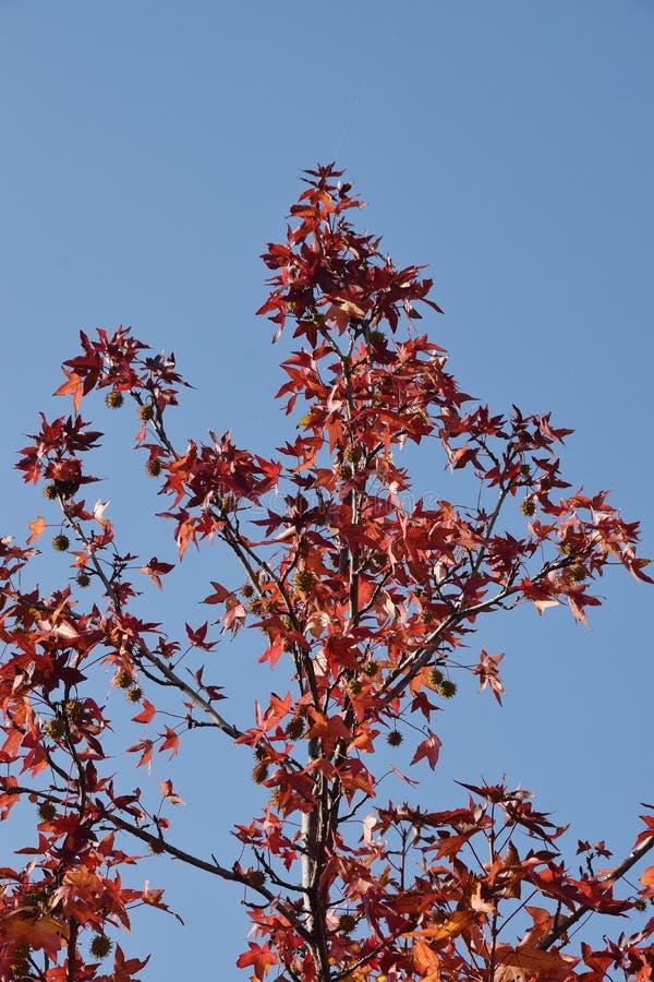 Il dettaglio di legno e foglie e frutta del sicomoro, acerifolia del Platanus fotografia stock libera da diritti