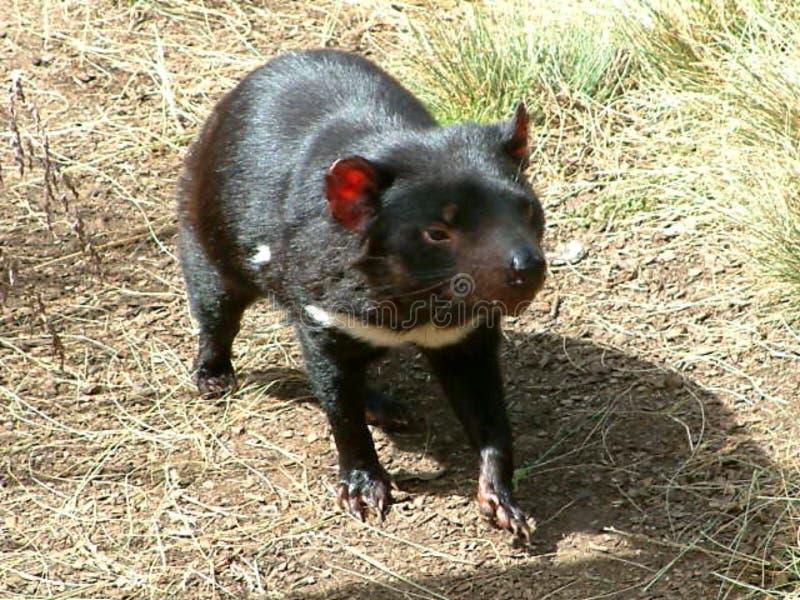 Il diavolo tasmaniano fotografie stock libere da diritti