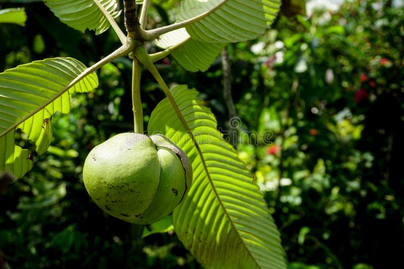 Il Dillenia indica, conosciuto comunemente come mela dell'elefante, è specie di nativo di Dillenia in Cina ed in Asia tropicale immagine stock