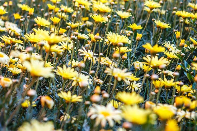Il Doronicum fiorisce in Santa Catalina Monastery, Arequipa, per fotografia stock