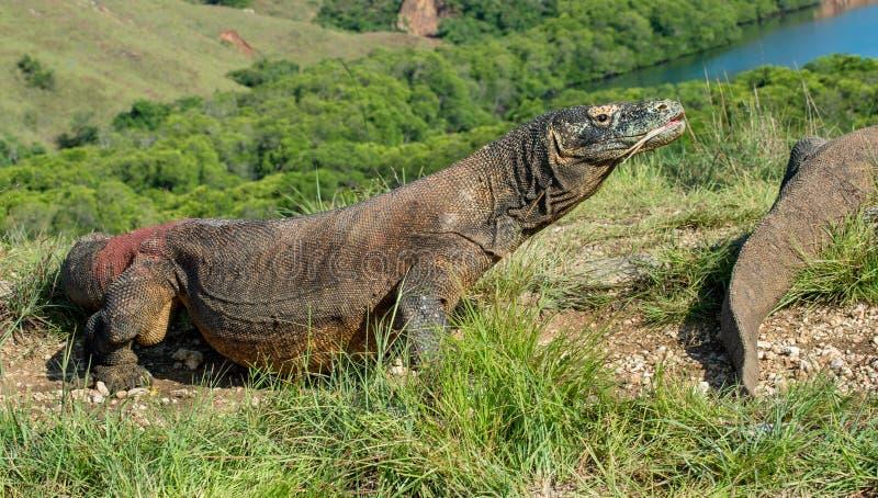 Il drago di Comodo & il x28; Komodoensis& x29 di varano; fotografia stock libera da diritti