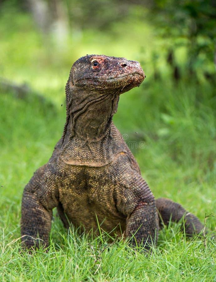 Il drago di Komodo Komodoensis di varano Chiuda sul ritratto fotografie stock