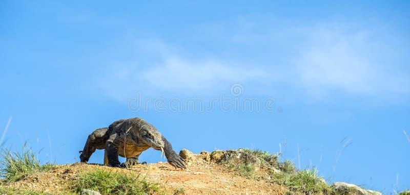 Il drago viene sui precedenti del cielo blu Drago di Komodo sull'isola Rinca Il drago di Komodo, komodoensis di varano fotografia stock libera da diritti