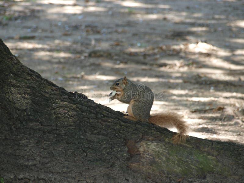 Il est temps heureux avec un biscuit de Saltine pour cet écureuil photos stock