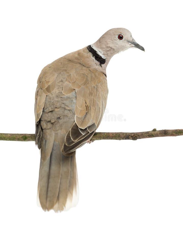 Il Eurasian ha messo un colletto la colomba, decaocto di Streptopelia fotografia stock