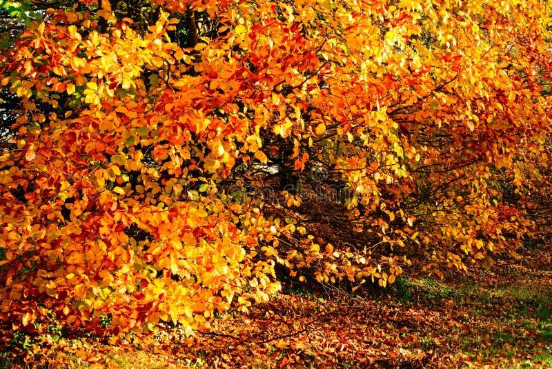 Il faggio lascia nel colore di autunno immagine stock