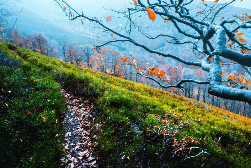 Il faggio maestoso si ramifica con le foglie arancio alle montagne di autunno immagine stock