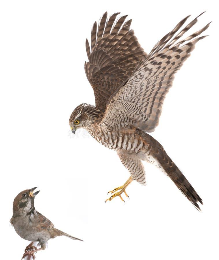 Il falco cerca un passero fotografia stock libera da diritti