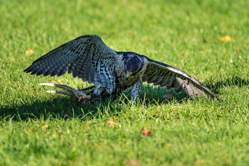Il falco del saker, cherrug di Falco in un parco naturale tedesco fotografia stock