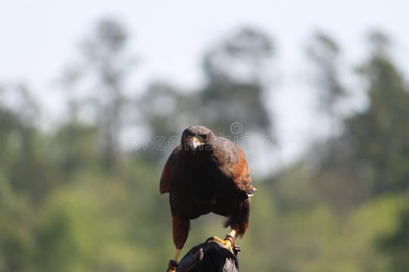 Il falco di Harris immagine stock libera da diritti