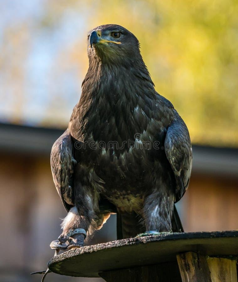 Il falco di Harris, unicinctus di Parabuteo, falco baia-alato o falco oscuro immagini stock libere da diritti