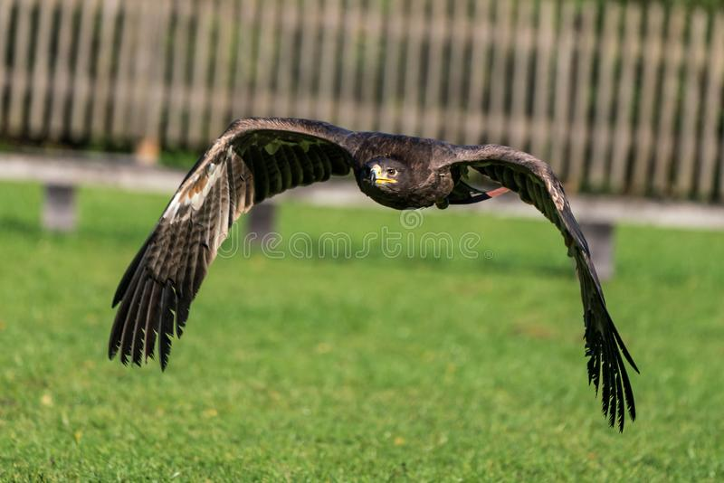 Il falco di Harris, unicinctus di Parabuteo, falco baia-alato o falco oscuro immagine stock