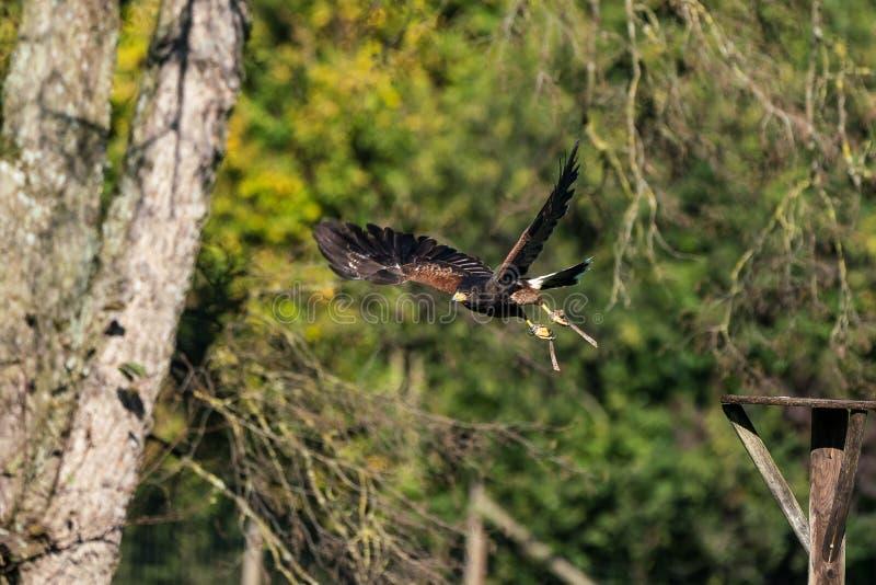 Il falco di Harris, unicinctus di Parabuteo, falco baia-alato o falco oscuro fotografie stock libere da diritti