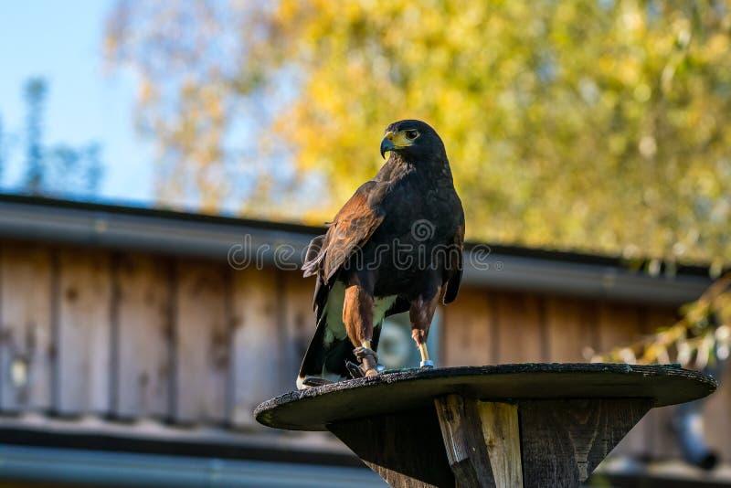 Il falco di Harris, unicinctus di Parabuteo, falco baia-alato o falco oscuro fotografie stock
