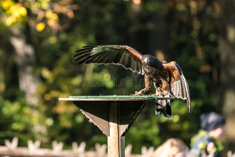 Il falco di Harris, unicinctus di Parabuteo, falco baia-alato o falco oscuro immagini stock
