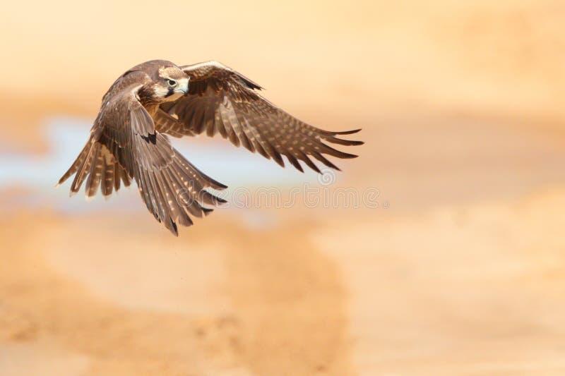 Il falco di Lanner toglie fotografia stock libera da diritti