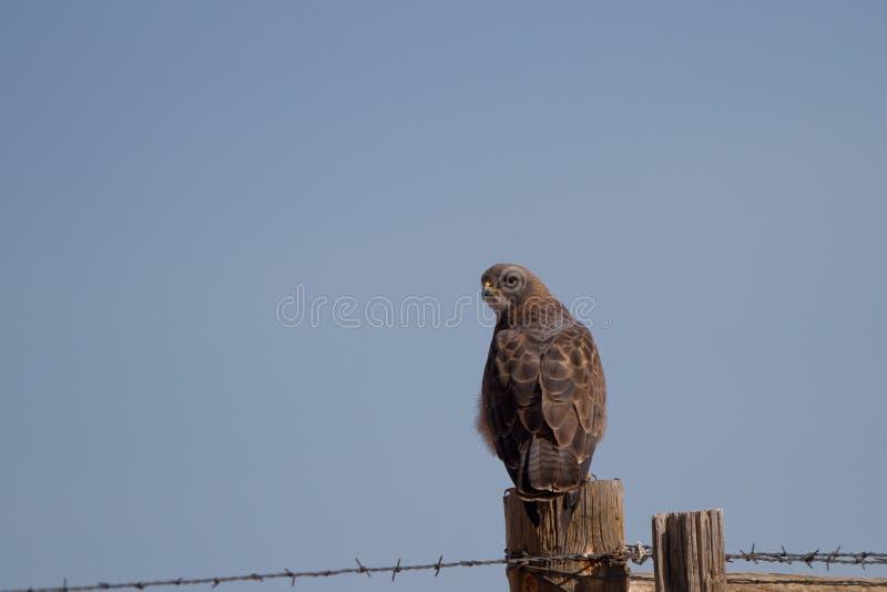 Download Il Falco Di Swainson, Swainsoni Del Buteo Fotografia Stock - Immagine di rapace, animale: 30826894