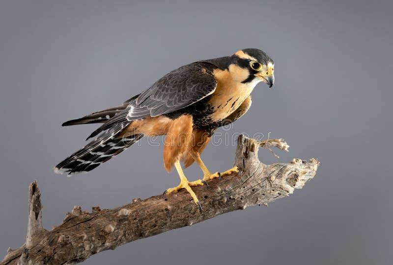 Il falco Perched di Aplomado ha isolato su fondo grigio fotografia stock libera da diritti