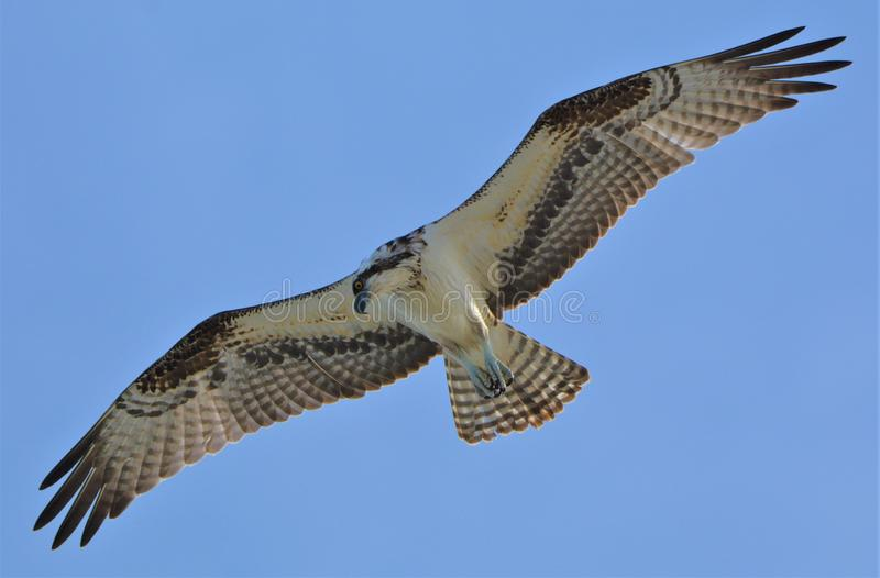 Il falco pescatore è instancabile nella loro caccia quotidiana per alimento fra le onde fotografia stock