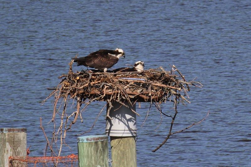Il falco pescatore accoppia sul nido fotografia stock