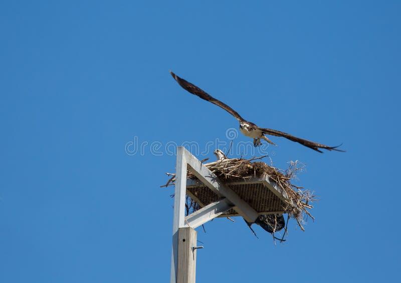 Il falco pescatore decolla immagini stock