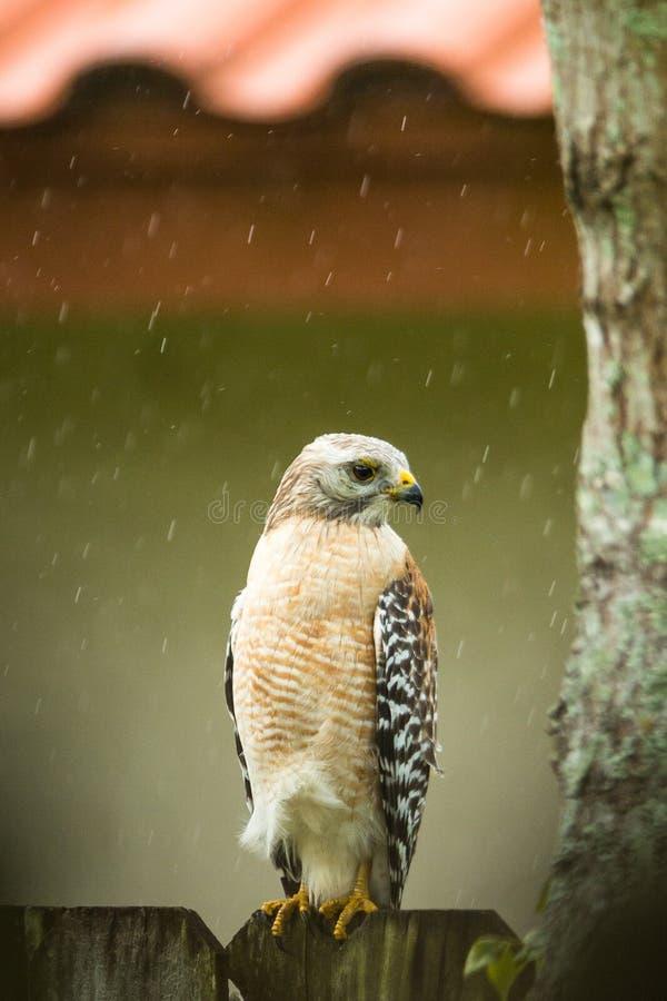Il falco pescatore si è appollaiato su un di legno recinta la pioggia fotografie stock libere da diritti