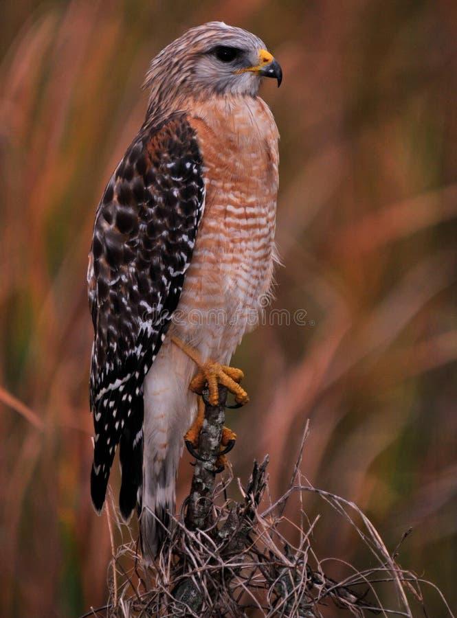 Il falco rosso della spalla fotografia stock libera da diritti