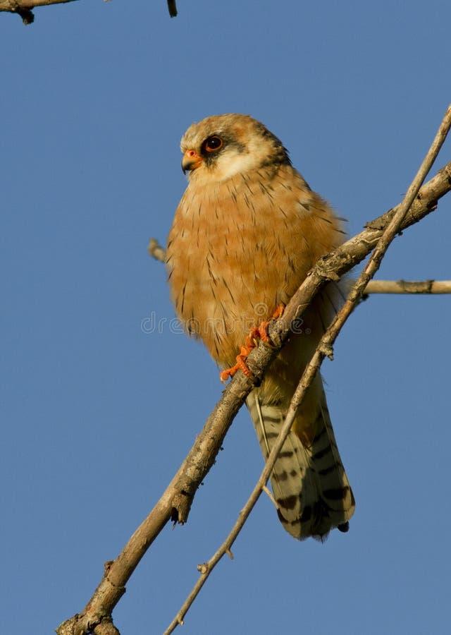 Il falco Rosso-footed femminile. fotografia stock libera da diritti