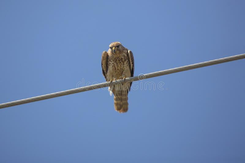 il falco Rosso-messo si è appollaiato su un cavo, terreni paludosi di Florida fotografia stock libera da diritti