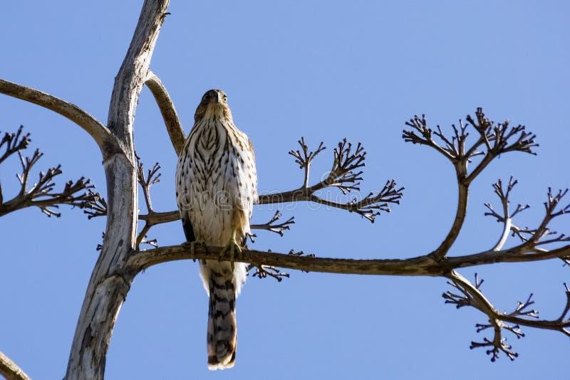 Il falco su un ramo, San Francisco Bay del sud, Alviso, California del bottaio giovanile immagine stock libera da diritti