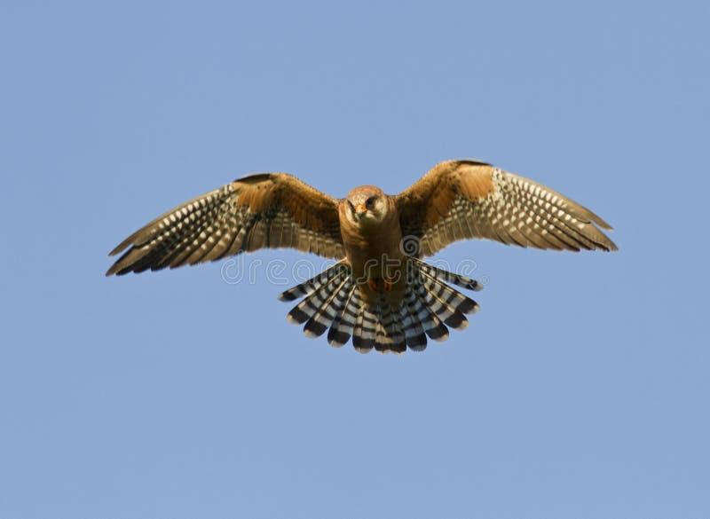 Il falcon-2 Rosso-footed femminile. fotografie stock