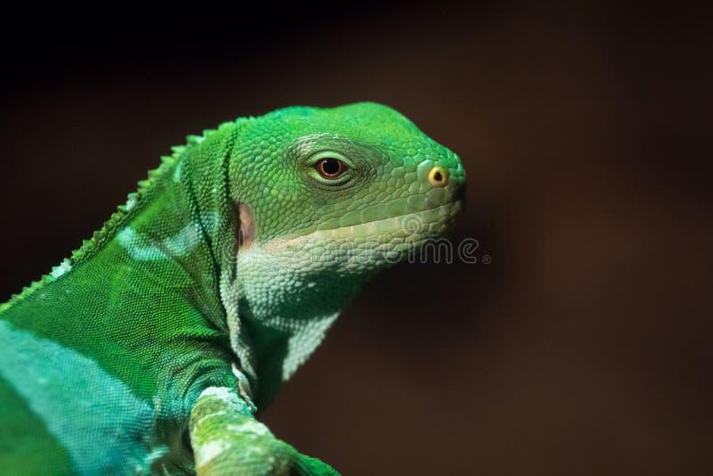 Il fasciatus di Brachylophus dell'iguana legato Figi è specie arboree di lucertola fotografia stock libera da diritti